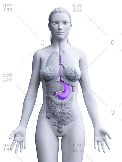 Stomach, computer illustration.