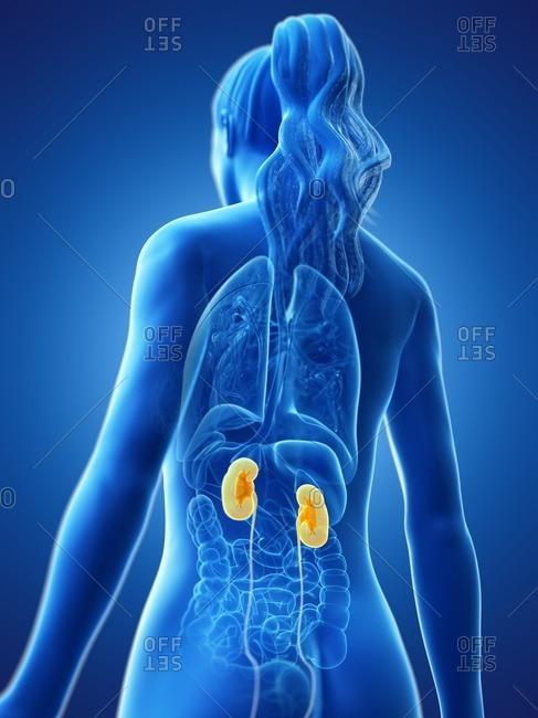 Kidneys, computer illustration.