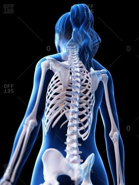 Female skeleton, computer illustration.