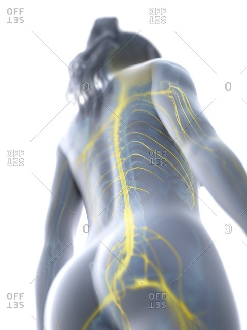Spinal cord, computer illustration.