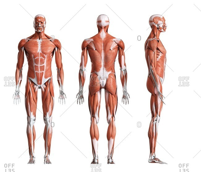 Male musculature, computer illustration.