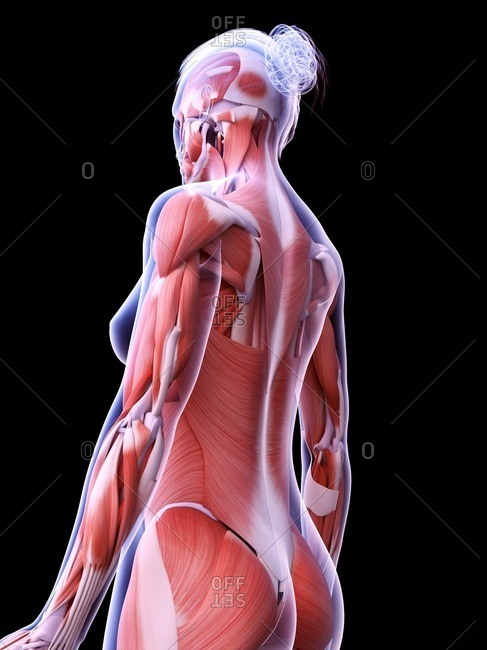 Female musculature, computer illustration.