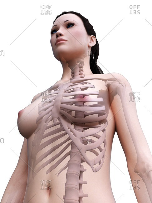 Female skeleton, computer illustration.
