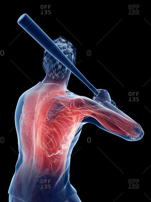 Baseball player's muscles, computer illustration.