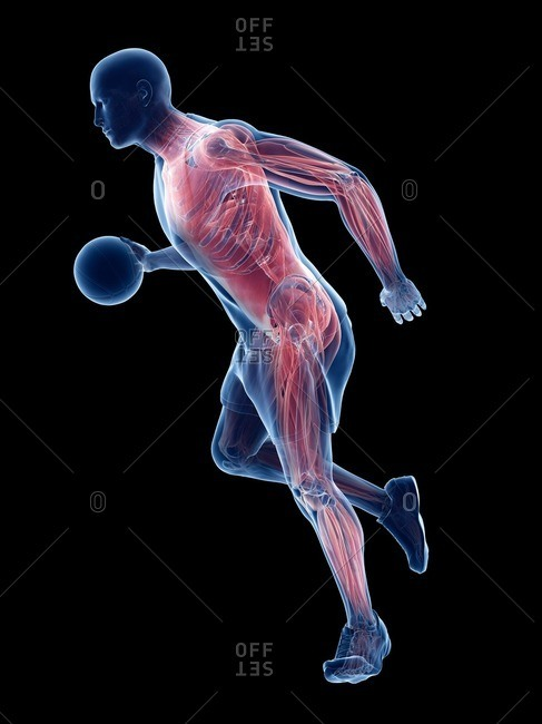 Basketball player's muscles, computer illustration.