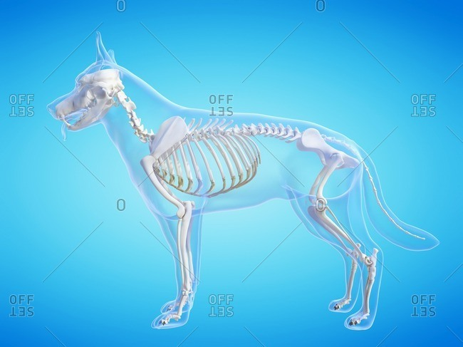 Dog skeleton, computer illustration.