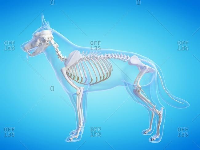 Dog skeleton, computer illustration.