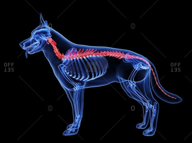 Dog spine, computer illustration.