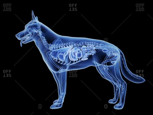 Dog gallbladder, computer illustration.