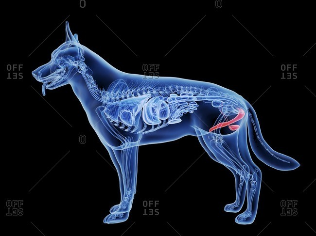 3d rendered medically accurate illustration of a dog's penis