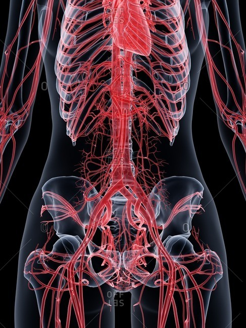 Female vascular system, computer illustration.