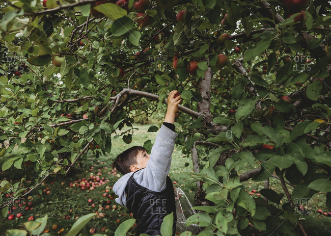 Side view of cute boy reaching for apple on fruit tree at orchard