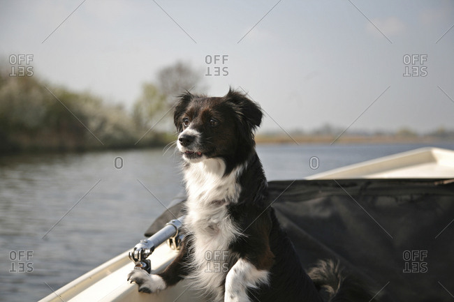 Young border collie mix watching something from a small boat.