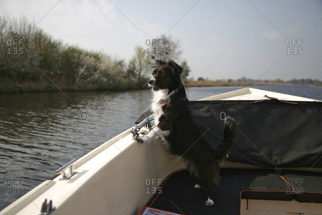 Small black and white dog looking over the edge of a motor boat.
