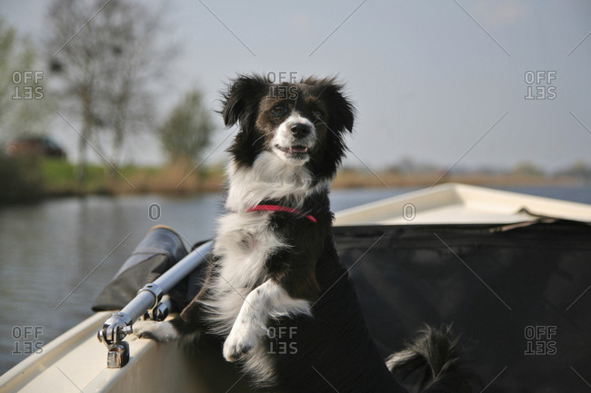 Small black and white dog looking attentively to the back of the boat.