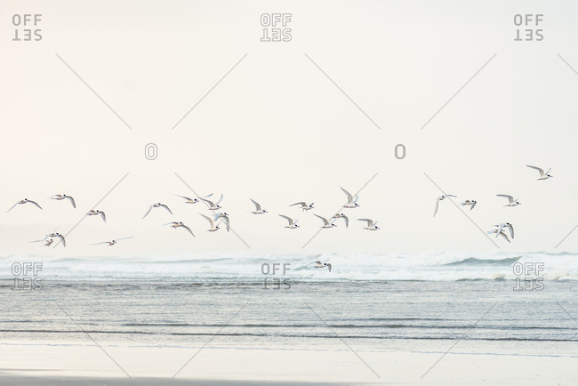 Flock of sea birds flying at coastline on a beach in New Zealand