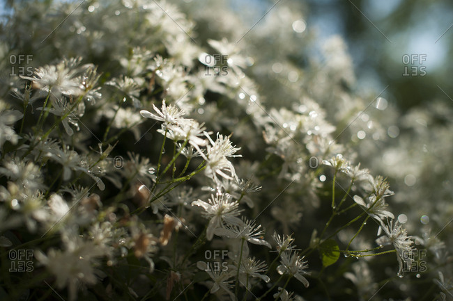 Close-up of wet white flowers blooming at backyard