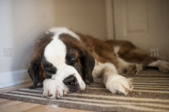 Large dog sleeping in hallway by back door at home