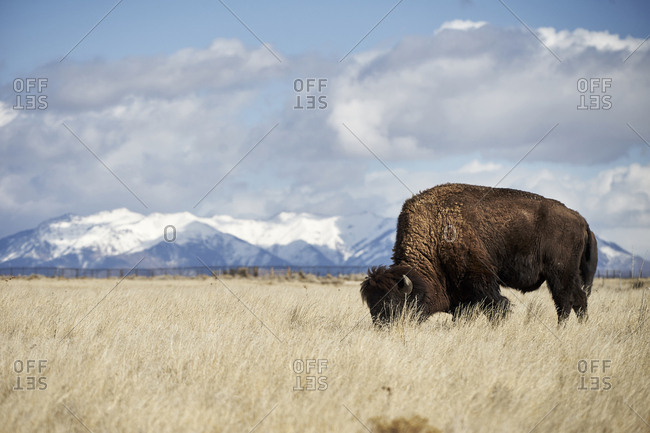American bison grazing on grassy field against cloudy sky