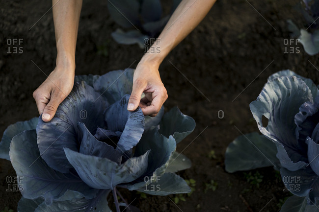 Woman hands on leaves of red cabbage