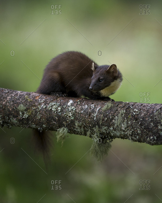 UK- Scotland- pine marten crouching  on tree trunk