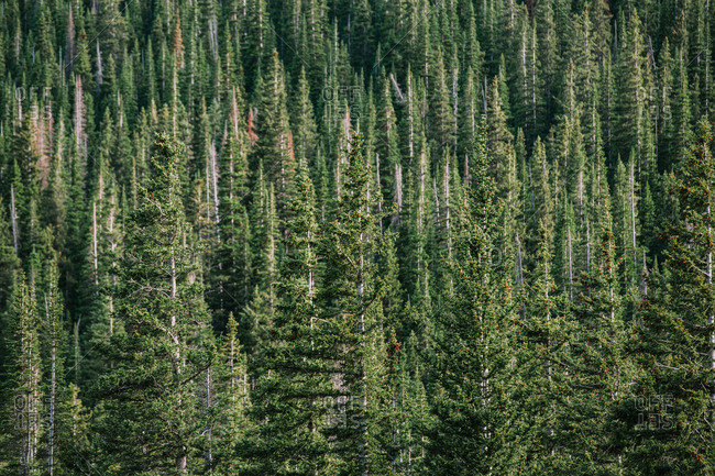 A Beautiful Colorado Forest With Green Spruce Trees