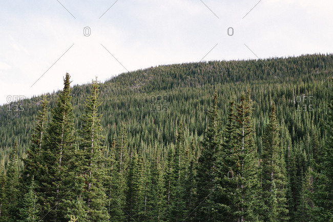 A Beautiful Colorado Forest With Green Spruce Trees and Mountains