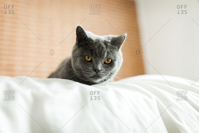 Low angle portrait of British Shorthair cat resting on bed at home