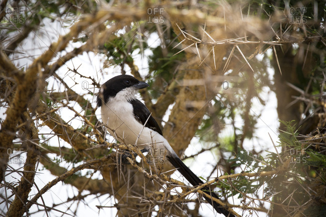 Low angle view of magpie perching on branch in forest at Mikumi National Park