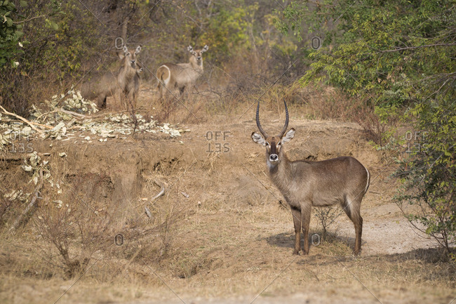 Deer standing on field in forest at Selous Game Reserve
