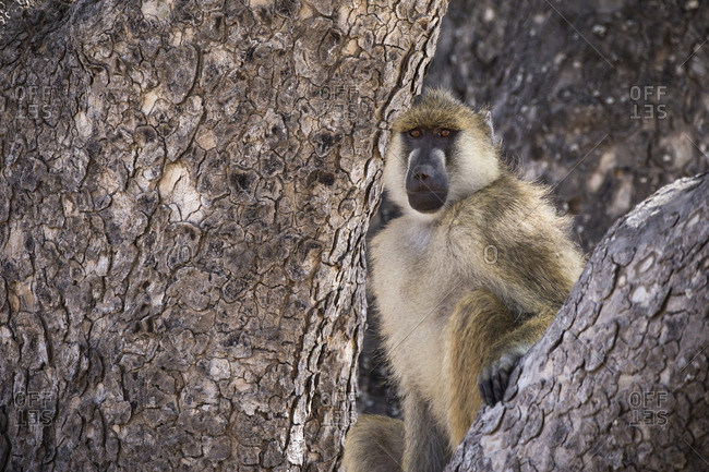 Monkey sitting on branch in forest at Ruaha National Park