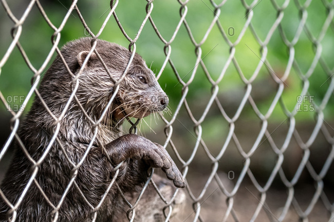 Otter caught behind a chain link fence.