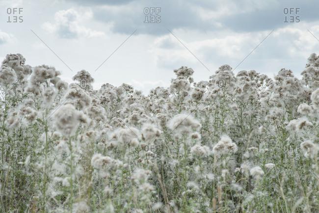 Fluffy plants growing in rural field