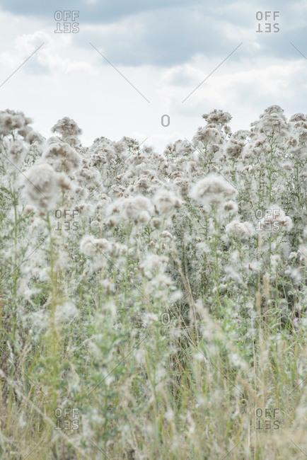 Dry fluffy plants growing in rural field