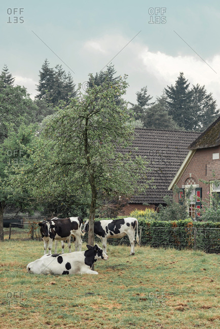 Spotted cows in meadow beside farmhouse