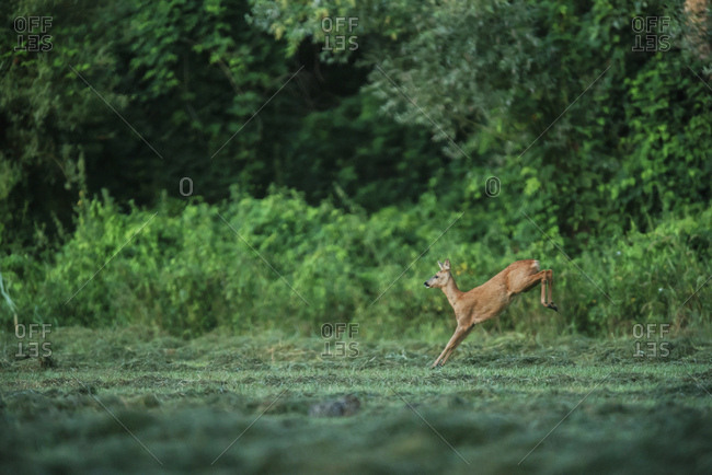 Young doe leaping through green field