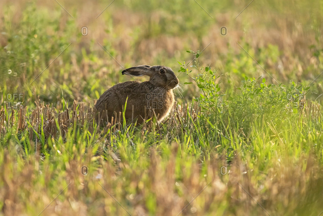 Brown rabbit in field at sunset