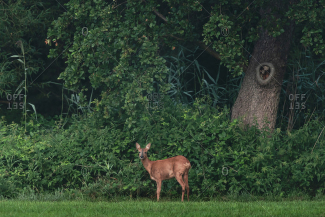 Young doe standing on edge of lush forest