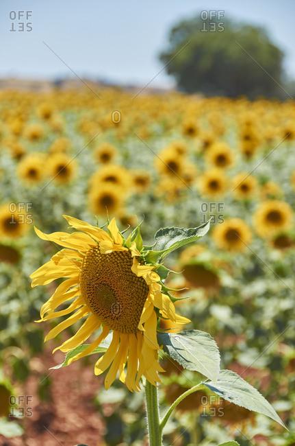 Sunflower field on a sunny day in the Alentejo Region of Portugal