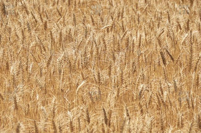 Wheat field on a sunny day near Aljustrel in the Alentejo Region of Portugal