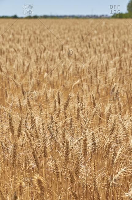 A wheat field on a sunny day near Aljustrel in the Alentejo Region of Portugal