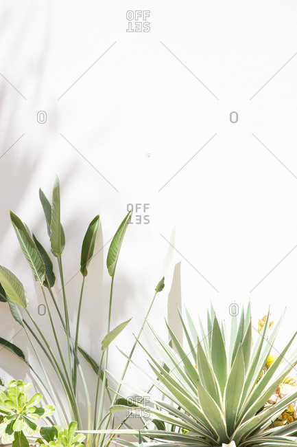 Green plants in front of white wall in the sunlight