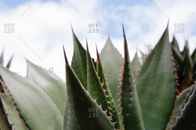 Close up of a prickly aloe plant