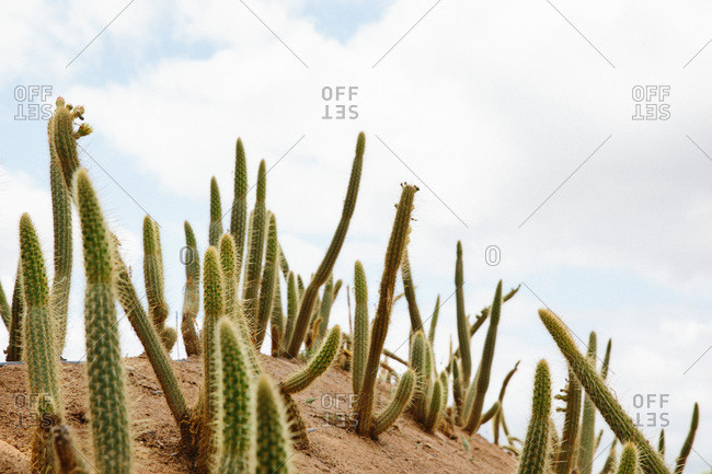 Several cactus growing in the desert