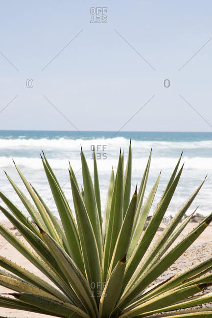 Aloe plant growing by the ocean