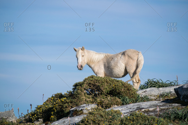 Young white horse on top of some rocks surrounded by gorse