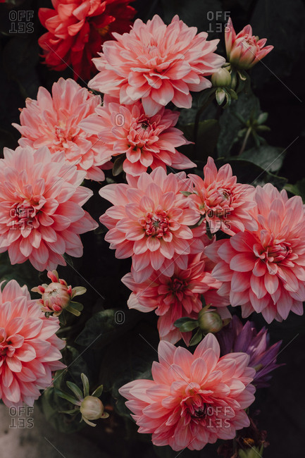 High angle view of Pink Dalias flowers