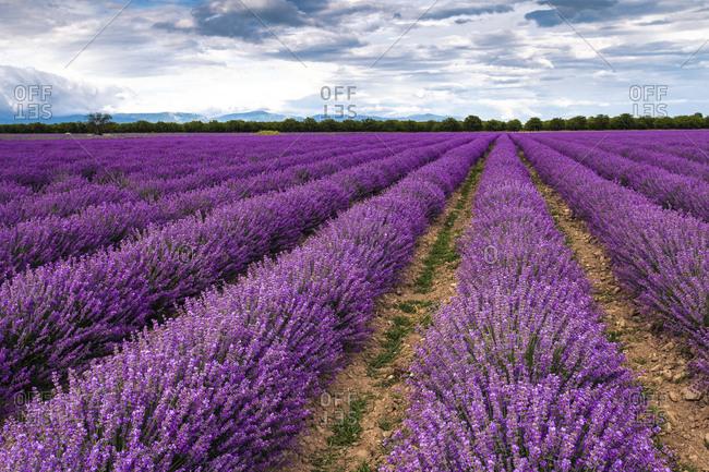 Perfect lavender field