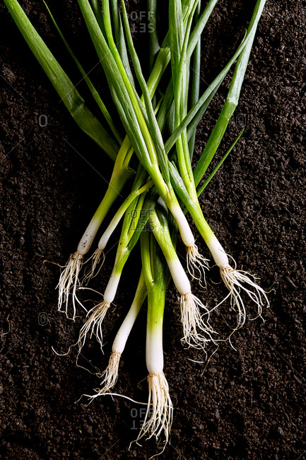 Green onions on dark soil background viewed from above. Organic onions