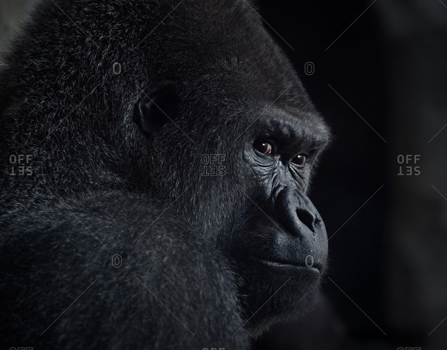 head and face of African gorilla
